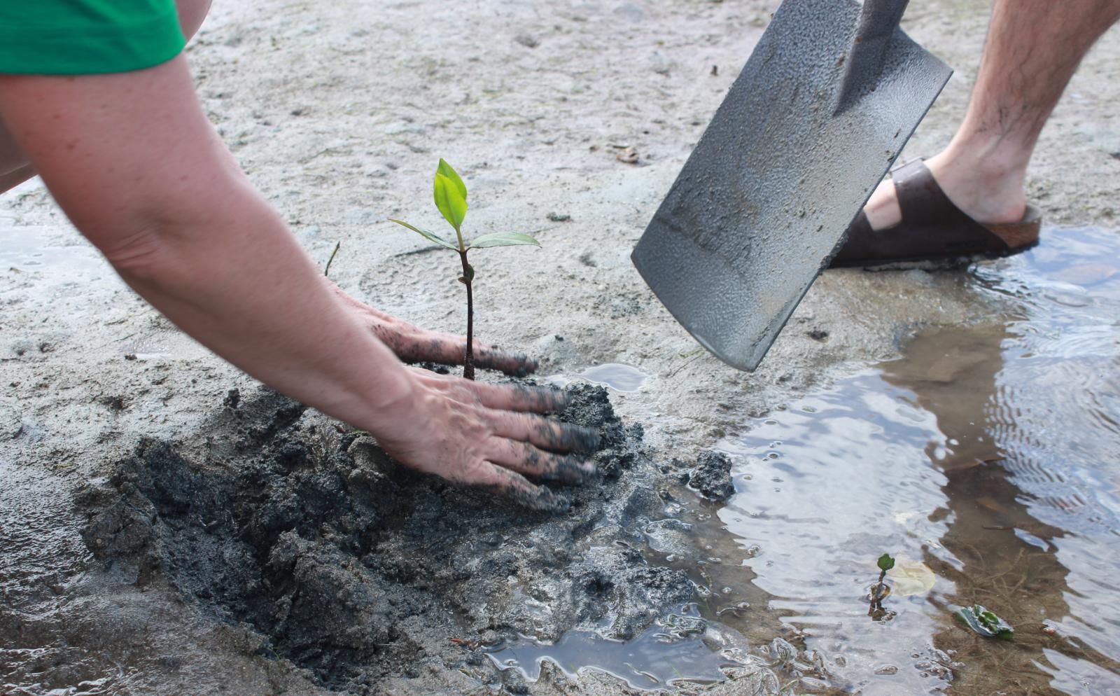 Voluntarios ambientales replantando manglares en Fiyi.